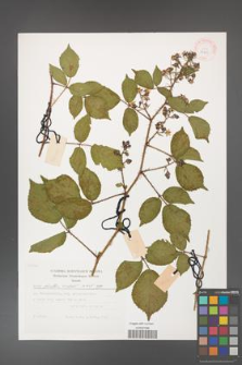 Rubus hirtus [KOR 29489]