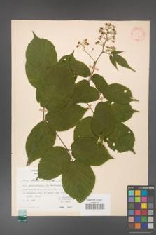 Rubus hirtus [KOR 31340]