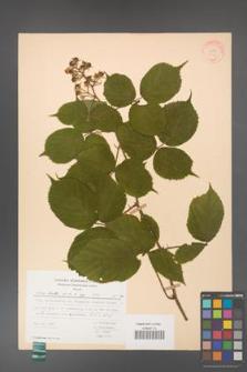 Rubus hirtus [KOR 31346]