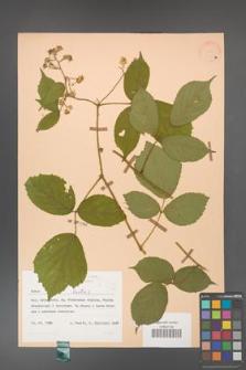 Rubus hirtus [KOR 31367a]