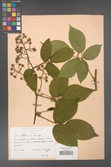 Rubus hirtus [KOR 25523]
