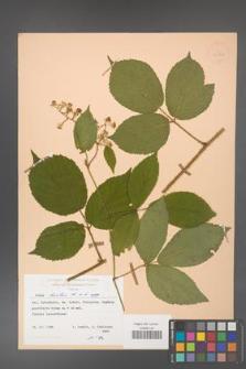 Rubus hirtus [KOR 25522]