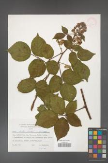 Rubus hirtus [KOR 24827]