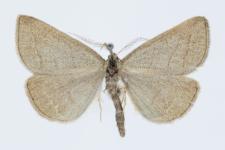 Polypogon tentacularia