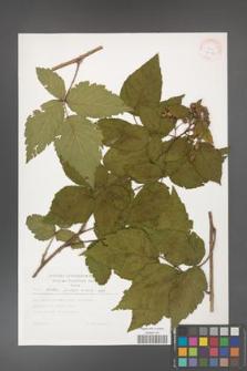 Rubus hirtus [KOR 30450]