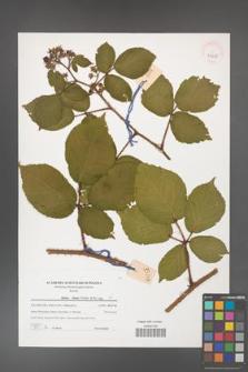 Rubus hirtus [KOR 39635]