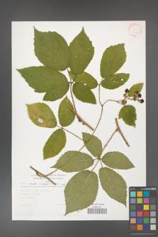 Rubus hirtus [KOR 30456]