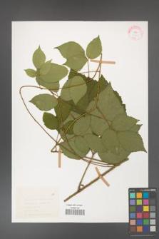 Rubus hirtus [KOR 31365]