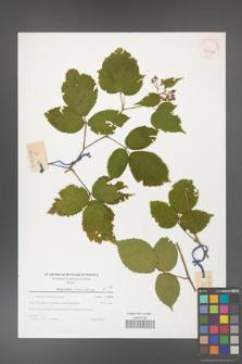 Rubus hirtus [KOR 39736]