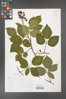 Rubus hirtus [KOR 30447]