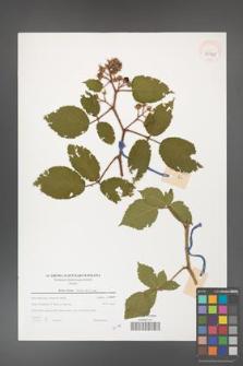 Rubus hirtus [KOR 39735]
