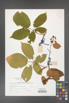 Rubus hirtus [KOR 39773]