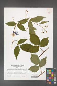 Rubus hirtus [KOR 39636]