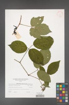 Rubus hirtus [KOR 38804]