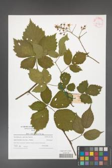 Rubus hirtus [KOR 42378]