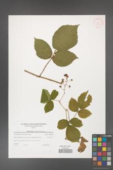 Rubus hirtus [KOR 38777]