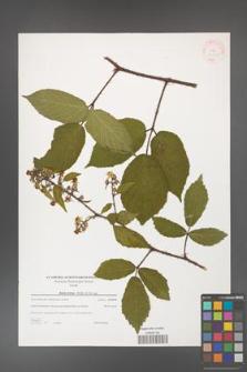 Rubus hirtus [KOR 38812]