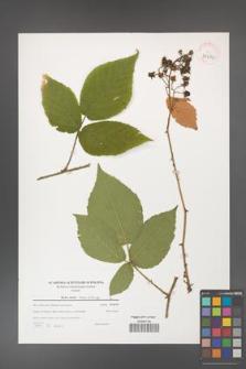 Rubus hirtus [KOR 39659]