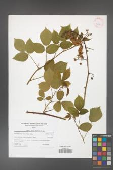 Rubus hirtus [KOR 42258]