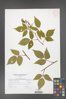 Rubus hirtus [KOR 42377]
