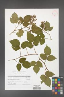 Rubus hirtus [KOR 41530]