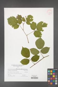 Rubus hirtus [KOR 41530a]