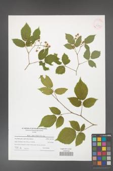 Rubus hirtus [KOR 41538]