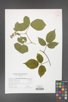 Rubus hirtus [KOR 42037]