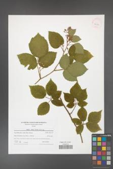 Rubus hirtus [KOR 42039]