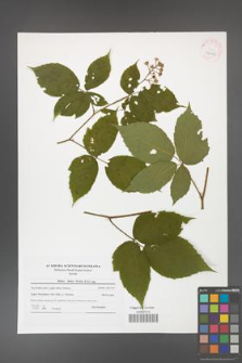 Rubus hirtus [KOR 42041]