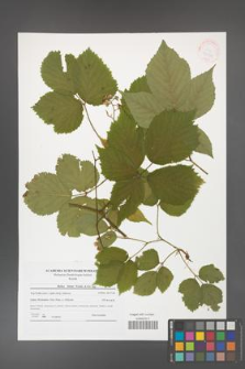 Rubus hirtus [KOR 41554]