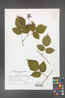 Rubus hirtus [KOR 42032]