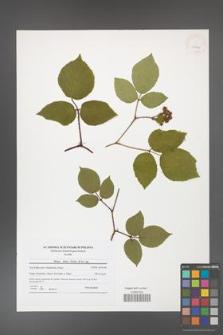Rubus hirtus [KOR 41804]