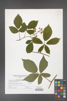 Rubus hirtus [KOR 41820]