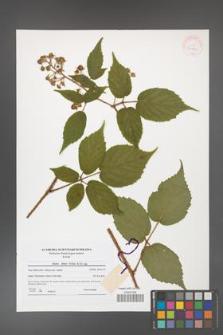 Rubus hirtus [KOR 41809]