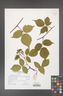 Rubus hirtus [KOR 41272]