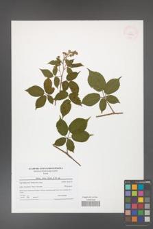 Rubus hirtus [KOR 41805]