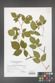 Rubus hirtus [KOR 42281]