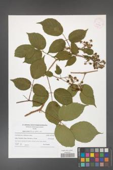 Rubus hirtus [KOR 41590]