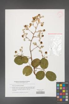 Rubus hochstetterorum [KOR 46283]