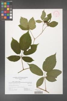 Rubus holzfussii [KOR 44483]