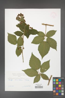 Rubus horridiformis [KOR 47474]