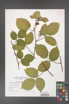 Rubus hirtus [KOR 41260]