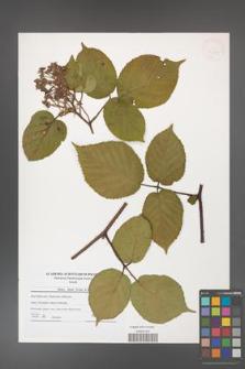 Rubus hirtus [KOR 41255]
