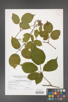 Rubus hirtus [KOR 41232]