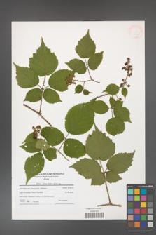 Rubus hirtus [KOR 41243]