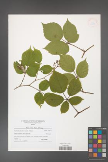 Rubus hirtus [KOR 41248]