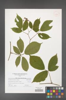Rubus hirtus [KOR 40829]