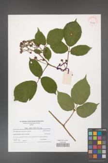 Rubus hirtus [KOR 40969]