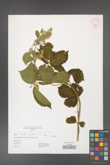Rubus hirtus [KOR 45423]